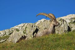 Alpine ibex lying on a meadow with wildflowers Royalty Free Stock Images