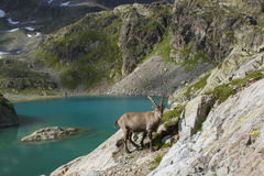 Alpine Ibex male Royalty Free Stock Photo