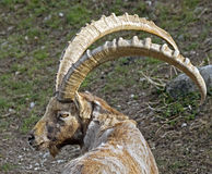 Alpine ibex 5 Royalty Free Stock Images