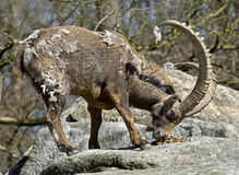 Alpine ibex 6 Stock Photos
