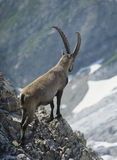 Alpine ibex male looking into valley Royalty Free Stock Photo