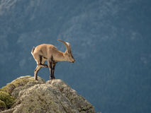 Alpine ibex male scratching himself on the top of the mountain Royalty Free Stock Photo