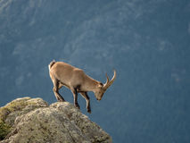 Alpine ibex male walking on the summit of the mountain Royalty Free Stock Photo