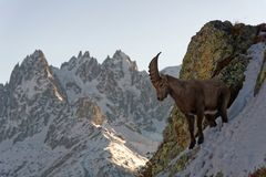 The Alpine ibex, the master of the mountains stock photography