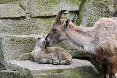 Alpine ibex mother with child Stock Image