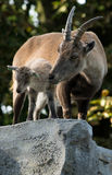 Alpine ibex mother with its young Stock Photo