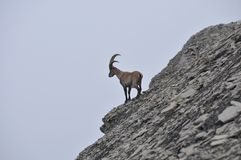 The Alpine ibex, the master of the mountains stock images