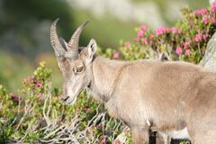 The Alpine ibex, the master of the mountains royalty free stock image