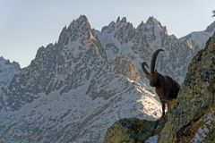 The Alpine ibex, the master of the mountains royalty free stock photos
