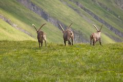 Alpine Ibex in the mountains Royalty Free Stock Image