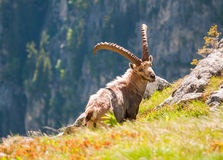 Alpine ibex on mountainside cliff Stock Image