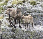 Alpine Ibex stock image