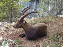 Alpine ibex in the nature Stock Photos