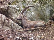 Alpine ibex in the nature Royalty Free Stock Photo
