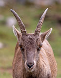 Alpine Ibex portrait Stock Image