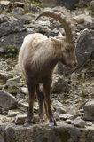 Alpine Ibex on rock formation Royalty Free Stock Photos