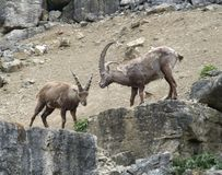 Alpine Ibex on rock formation Stock Photography