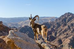 Alpine ibex with huge horns stock photos