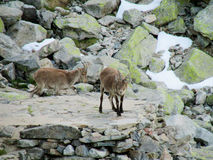 Alpine ibex small baby in the wild nature on rocks Stock Photos