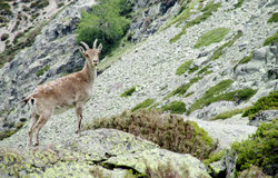 Alpine ibex small baby in the wild nature on rocks Stock Image