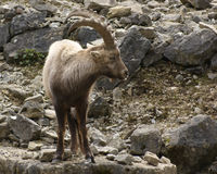 Alpine Ibex in stony back Royalty Free Stock Images