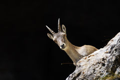 Alpine ibex - Steinbock Royalty Free Stock Image