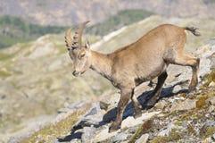 Alpine ibex - Steinbock. Side view of an Alpine ibex - Steinbock Stock Photography