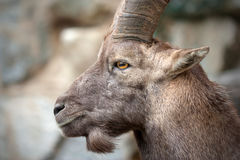 Alpine ibex (Steinbock). The Alpine ibex (Capra ibex), also known as the Steinbock, is a species of wild goat that lives in the mountains of the European Alps Stock Photography