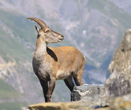 Alpine ibex - Steinbock - female Stock Image