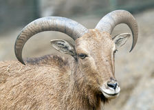 Alpine ibex - Steinbock - Portrait Stock Photos