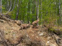Alpine ibex or steinbock in spring season which camouflage itself in the field around the wood. Italy, Orobie Alps. Bergamo area stock photography