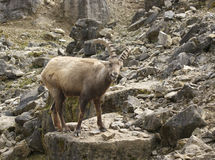 Alpine Ibex in stony ambiance Stock Photography