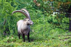 Alpine ibex in the swiss alps Stock Photos