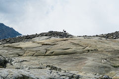 Alpine ibex on top of mountain at Grossglockner mountain area royalty free stock photography