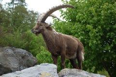 The Alpine ibex Stock Images