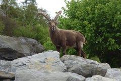 The Alpine ibex Royalty Free Stock Image