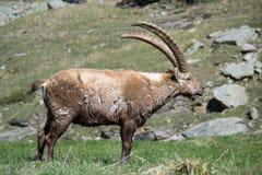 Alpine Ibex Stock Images