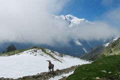 Alpine ibex in the wild nature Royalty Free Stock Image