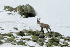 Alpine ibex in the wild nature on rocks and snow Royalty Free Stock Photography