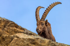 Alpine ibex (Capra ibex) - Italian Alps Royalty Free Stock Images