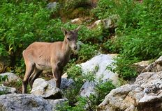 Alpine ibex Young Small ZOO stock image