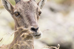 Alpine Ibex Stock Photos