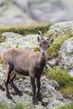 Alpine Ibex Royalty Free Stock Photography