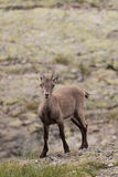 Alpine Ibex Royalty Free Stock Photo