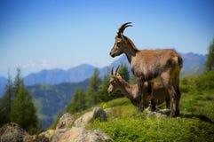 Alpine ibexes Stock Photography