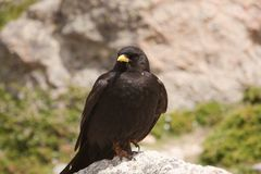Alpine jackdaw Royalty Free Stock Photos