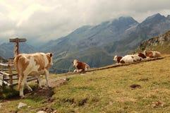 Alpine Kühe Lizenzfreie Stockfotografie