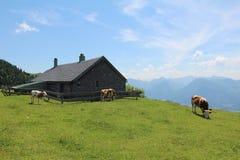 Alpine Kühe auf Wiesen Lizenzfreie Stockfotos