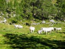 Alpine Kühe im Naturpark von Alta Valle Antrona Lizenzfreies Stockbild