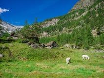 Alpine Kühe im Naturpark von Alta Valle Antrona stockfotos